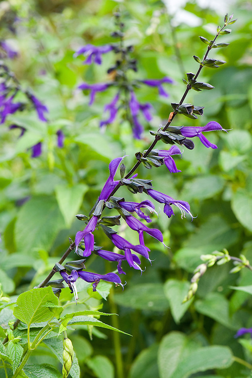 Salvia 'Purple Majesty', early October.