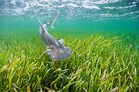 bonnethead shark, Sphyrna tiburo, swimming over seagrass bed, Little Card Sound, Biscayne Bay, Key Largo, Florida Keys, Florida, USA, Atlantic Ocean