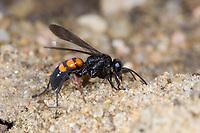 Frühlings-Wegwespe, Frühlingswegwespe, Anoplius viaticus, Anoplius fusca, black-banded spider wasp, Pompilidae, Wegwespe, spider wasps, pompilid wasps, spider wasp, pompilid wasp, les Pompiles