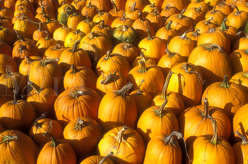 AJ5733, pumpkin, harvest, close-up, autumn, display, A close up of a large number of pumpkins for sale at a market in the state of Vermont.