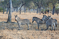 Burchell's Zebra, Equus burchellii, South Luangwa National Park, Zambia, Africa