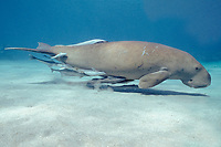 dugong or sea cow, Dugong dugon, with sharksuckers (remoras), Echeneis naucrates, (Indo-Pacific Ocean)
