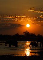 A herd of elephants at sunset in the Okavango Delta, Botswana Africa.