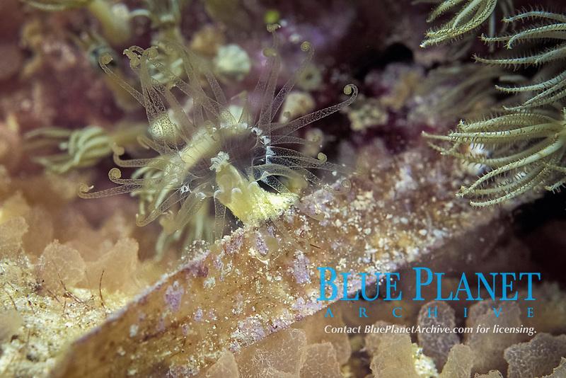 Turtle grass anemone, Viatrix globulifera, Florida Bay