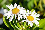 Mayweed flowers, Orchard House gardens, Concord, Massachusetts