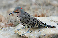 Unlike most other woodpeckers, Northern Flickers are principally ground feeders, though they also forage on tree trunks and limbs.