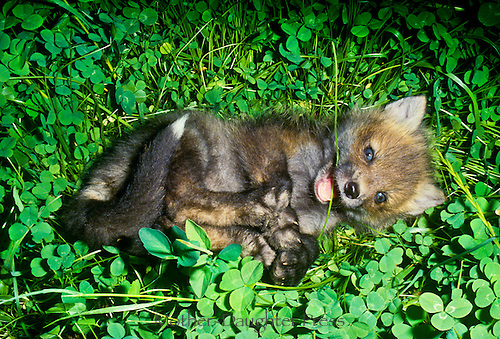 Blue eyed fox kit rolling in clover and playing with strands of grass and his own feet
