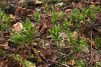 Ausdauerndes Bingelkraut, Wald-Bingelkraut, Mercurialis perennis, Dog´ s Mercury, Mercuriale pérenne