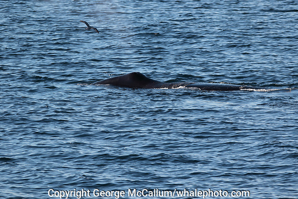 Bowhead whale,  Balaena mysticetus, Critically endangered Barents sea population. Barents sea / Arctic Ocean, Franz Josefs Land, Russia