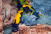dyeing poison dart frog, tinc, dyeing poison frog, Dendrobates tinctorius, Brazil (c)