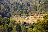 St Pargoire. Languedoc. Garrigue undergrowth vegetation with bushes and herbs. France. Europe. Vineyard.