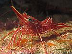 Kenting, Taiwan -- Durban dancer shrimp