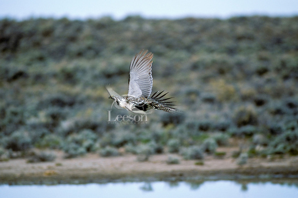 Male sage grouse flying near waterhole in sage.