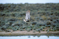 Male sage grouse flying near waterhole in sage.