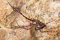 European Cave Spider (Meta menardi) in limestone cave. Peak District National Park, Derbyhsire, UK. January.