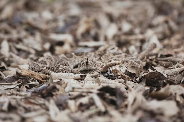 Western Diamondback Rattlesnake (Crotalus atrox), adult camouflaged in leaf litter, Sinton, Corpus Christi, Coastal Bend, Texas, USA