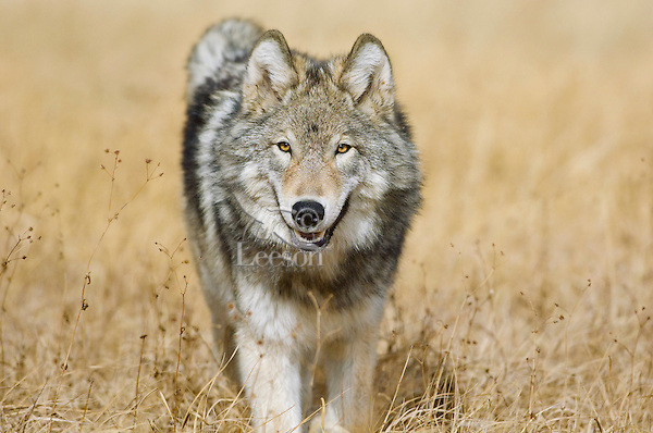 Wild GRAY WOLF (Canis lupus).  Greater Yellowstone Ecological Area.  Fall.