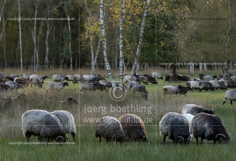 GERMANY, lower saxonia, heath and forest landscape, sheep grazing on pasture / DEUTSCHLAND, Niedersachsen, Schneverdingen, Wald und Moor, Pietzmoor, Schafhaltung, Heidschnucken