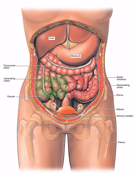 This medical exhibit diagram illustrates the anatomy of the female abdomen and pelvis from an anterior (front) cut-away view, showing elements of the digestive system. The liver, stomach, and abdominal contents are clearly identified and labeled, including the cecum, ascending colon, transverse colon, descending colon, and small intestine. The image also shows the pelvis, uterus, and urinary bladder. The pelvic bones and femur bones are ghosted beneath the skin.