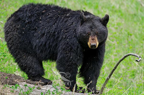 Wild Black Bear (Ursus americanus) covered with clinging weed seeds.  Western U.S., Spring.