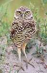 Burrowing Owl, Cape Coral, FL, USA