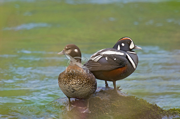 Harlequin duck (Histrionicus histrionicus) pair resting on rock in a Pacific Northwest river. Spring.
