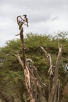 Tanzania. Tarangire National Park.  African Grey Hornbill (Tockus Nasutus) Resting on a Dead Tree Trunk.
