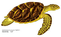 Hawksbill turtle, Eretmochelys imbricata, illustration by the artist Wyland