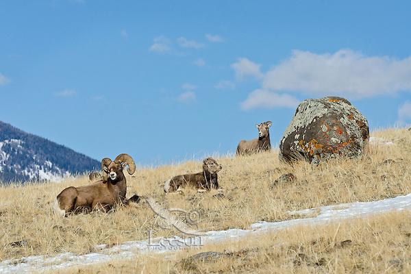 Bighorn Sheep (Ovis canadensis) family--ram, lamb and ewe.  Western U.S., late fall.