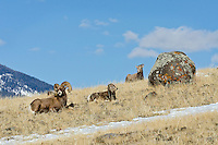 Bighorn Sheep (Ovis canadensis) family--ram, lamb and ewe.  Western U.S., late fall.