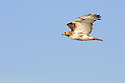 00581-001.03 Red-tailed Hawk (DIGITAL) in flight against blue sky has just eaten as crop is bulging.  Predator, prey, raptor, bird.  H2L1