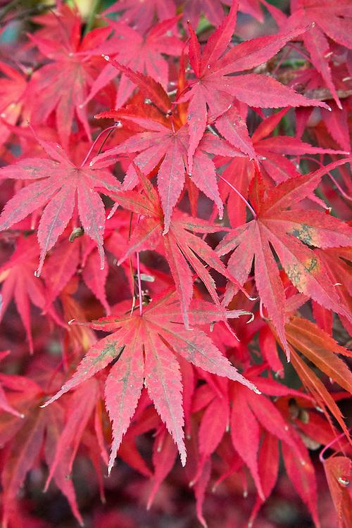 Acer palmatum 'Atropurpureum', early November.