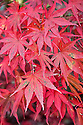 Acer palmatum 'Atropurpureum', early November.
