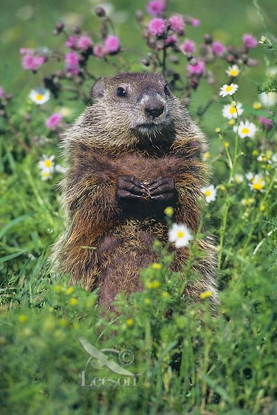 Woodchuck  or groundhog (Marmota monax) in meadow.  Minnesota, summer.