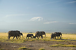 A matriarchal herd of African elephants walk across the plain below Mount Kilimanjaro in Amboseli National Park, Kenya.