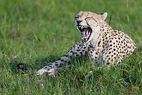 Male Cheetah (Acinonyx jubatus) prepares to hunt, Masai Mara, Kenya