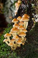 Grünblättriger Schwefelkopf, Grünblättriger-Schwefelkopf, Büscheliger Schwefelkopf, Bitterer Schwefelkopf, Hypholoma fasciculare, Nematoloma fasciculare, sulphur tuft, sulfur tuft, clustered woodlover, sulfur cap