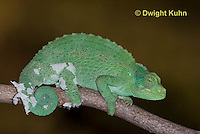 CH37-528z  Female Jackson's Chameleon or Three-horned Chameleon, molting old skin, Chamaeleo jacksonii