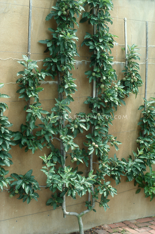 Apple tree in fruit trellis against wall, showing vertical growing of fruits- see also image of same tree in flower