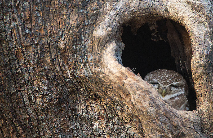 A Spotted owlet peeks out of a tree in Ranthambore National Park.