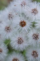 Weiße Pestwurz, Weisse Pestwurz, Früchte, fruchtend, Samen, Samenstand, Pest-Wurz, Petasites albus, White Butterbur, Umbrella Plant, fruit, seed, Le pétasite blanc