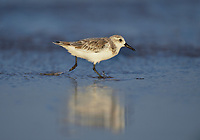 Sanderling (Calidris alba), adult running, South Padre Island, Texas, USA