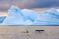 humpback whale, Megaptera novaeangliae, Antarctic Peninsula, Antarctica, Southern Ocean