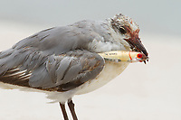 Immature 1st cycle Laughing Gull (Larus atricilla) injured by a fishing lure. Harrison County, Mississippi. July.