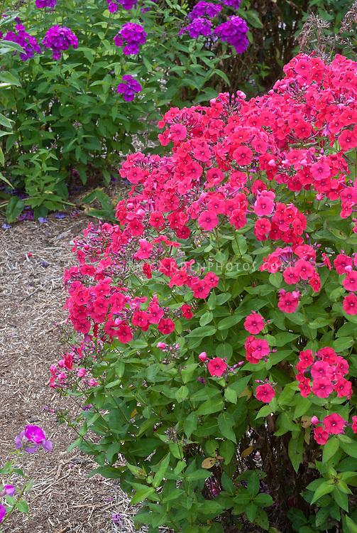 Phlox x arendsii 'Miss Mary' (Spring Pearl Series) (TN84) deep pink aka Phlox paniculata 'Red Riding Hood'