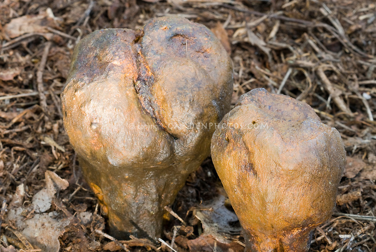 Pisolithus arrhizus aka P. tinctorius (very Rare mushroom) fungi growing wild. Inedible, commonly called Dog Turd Mushroom, useful dye plant for dyeing wool