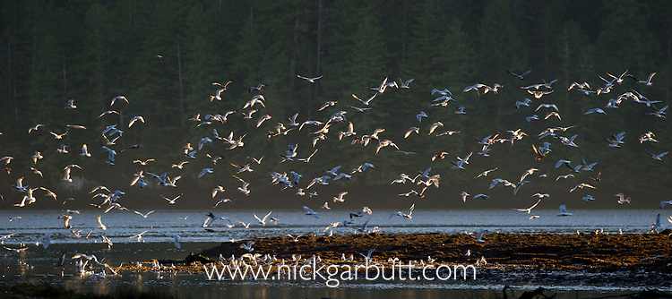 A mixed flock of gulls - mainly Herring Gulls (Larus argentatus) and Glaucous-winged Gulls (Larus glaucescens) - feeding on salmon eggs washed into the estuary after flood waters. Near Mussel Inlet, Great Bear Rainforest, British Columbia, Canada.