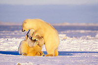 polar bear, Ursus maritimus, mother playing on the pack ice of the frozen coastal plain, 1002 area of the Arctic National Wildlife Refuge, Alaska, polar bear, Ursus maritimus