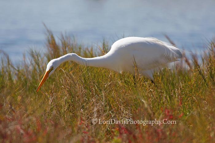 Great Egret Stalking in Sunlit Grasses  #E27