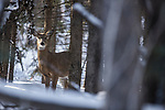 White-tailed Deer (Odocoileus virginianus)  doe in broeal forest in winter, Riding Mountain National Park, Manitoba, Canada